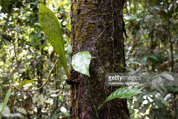 trees in tropical rainforest, borneo, malaysia - argenberg stock pictures, royalty-free photos & images