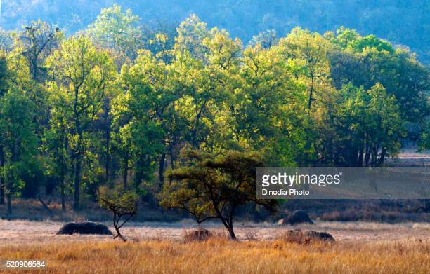 trees of bandhavgarh forest, madhya pradesh, india, asia - bandhavgarh national park stock pictures, royalty-free photos & images