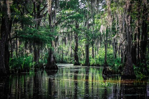 Trees of the Louisiana Swamp 871403030