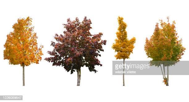 trees of various colors isolated on white background. - árbol de hoja caduca fotografías e imágenes de stock
