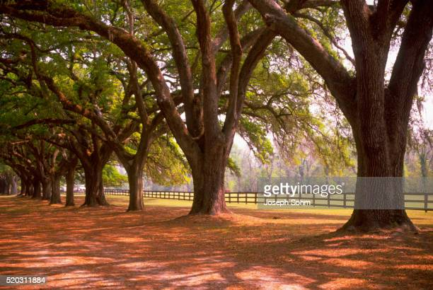 trees on boone hall plantation - boone hall plantation stock pictures, royalty-free photos & images