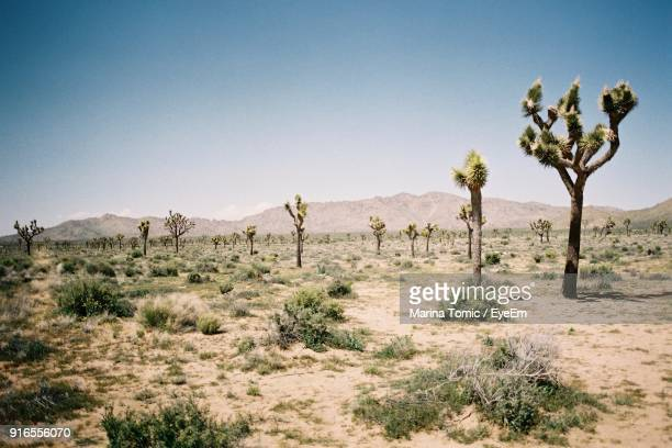 trees on desert against clear blue sky - cactus stock-fotos und bilder