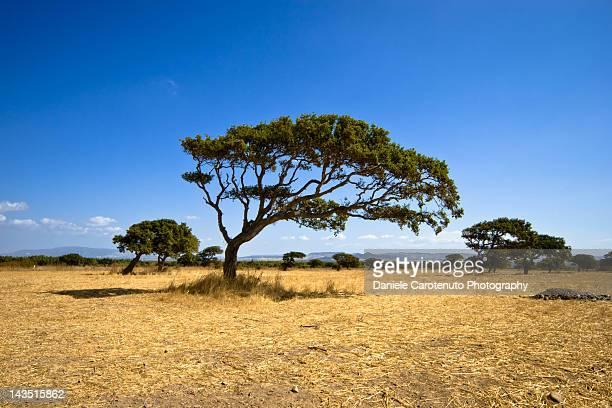 trees on desert - daniele carotenuto 個照片及圖片檔