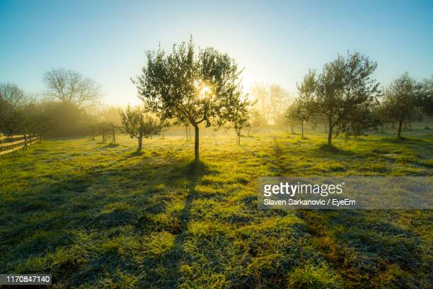 trees on field against clear sky - olive tree stock pictures, royalty-free photos & images