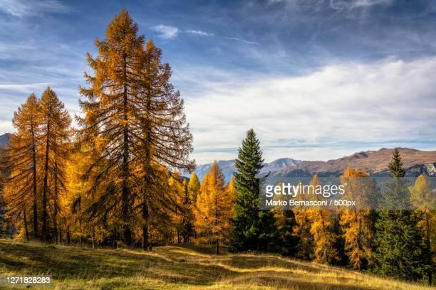 trees on field against sky during autumn, arosa, switzerland - images stock-fotos und bilder