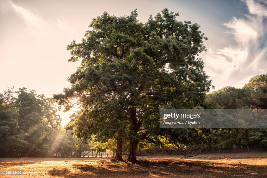 Trees On Field Against Sky During Sunset : Foto stock