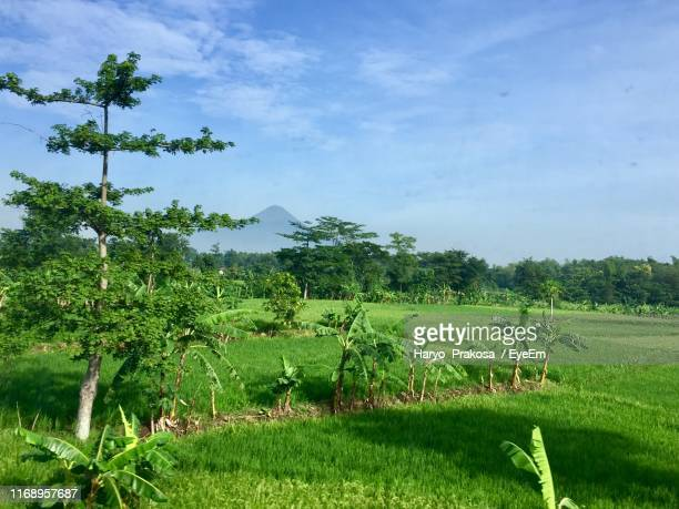 trees on field against sky - east java province stock pictures, royalty-free photos & images