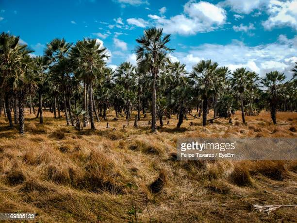 trees on field against sky - barreirinhas stock pictures, royalty-free photos & images