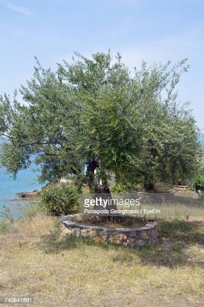 trees on field against sky - kalamata olive stock photos and pictures
