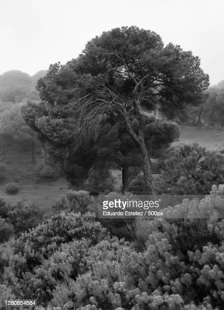 trees on field against sky,extremadura,spain - blanco y negro stock-fotos und bilder