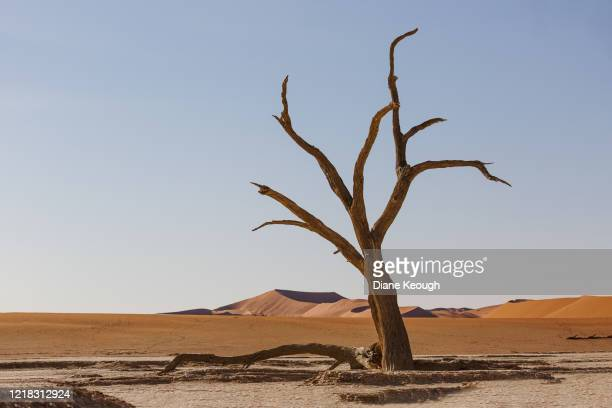 trees on the clay pan at deadvlei with the beautiful red dunes - petrified log stock pictures, royalty-free photos & images