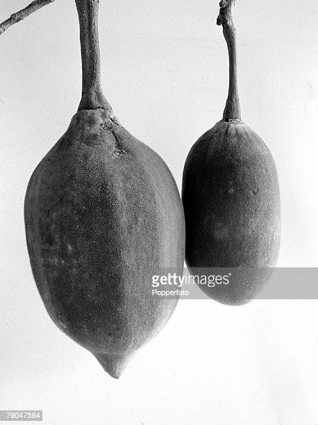 circa 1950's Edible fruit known as 'monkey bread' from the Baobab tree The tree found in Australia and Africa with massive trunk root like branches...