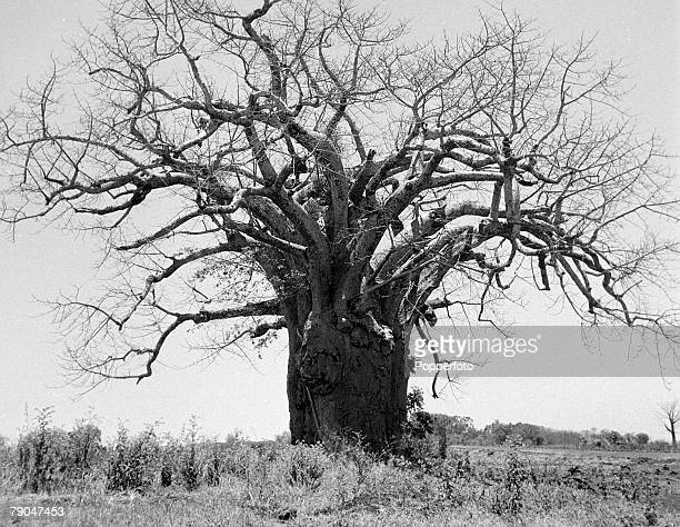 circa 1950's The Baobab tree found in Australia and Africa with massive trunk root like branches and edible fruit known as 'monkey bread' The unusual...