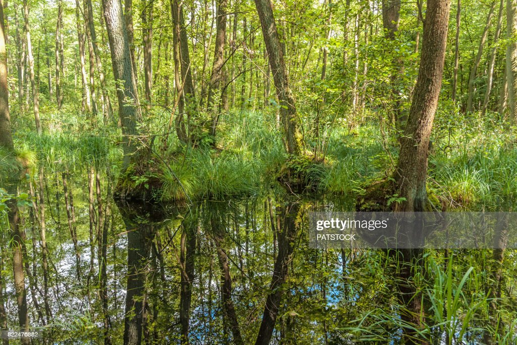 Trees reflected in water of a mire : Stock Photo