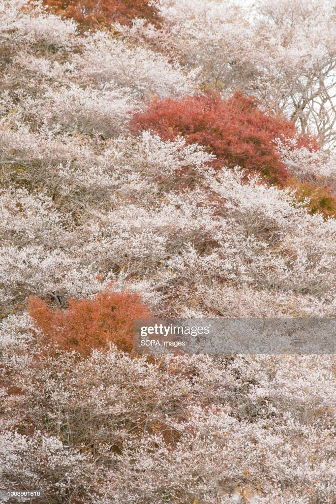 Trees seen with autumn leaves. Toyota, Aichi has some of the... : News Photo