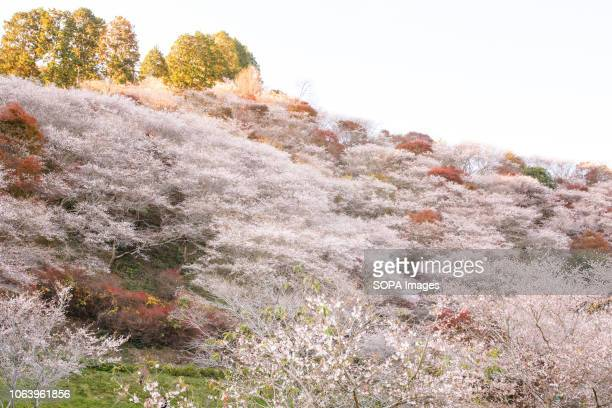 Trees seen with autumn leaves Toyota Aichi has some of the famous sightseeing spots of autumn leaves during fall season