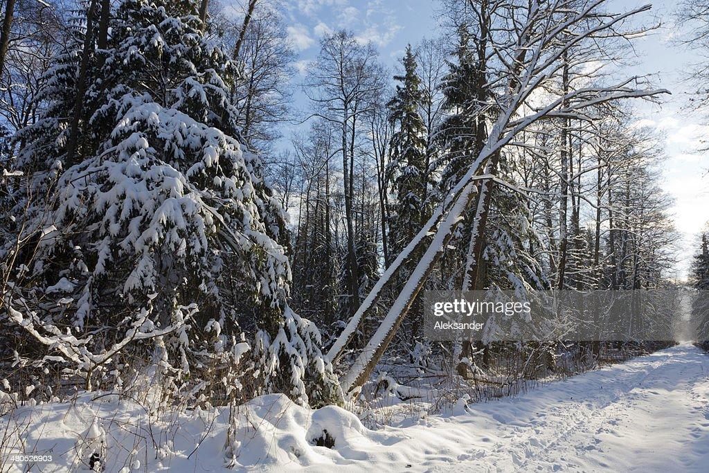 Bäume im Schnee Schneesturm nach gewickelt : Stock-Foto