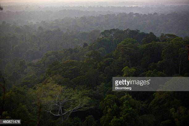 Trees stand in the rain forest in the southern part of the Amazonian state of Para near Belo Monte Brazil on Monday Dec 15 2014 The rate of...