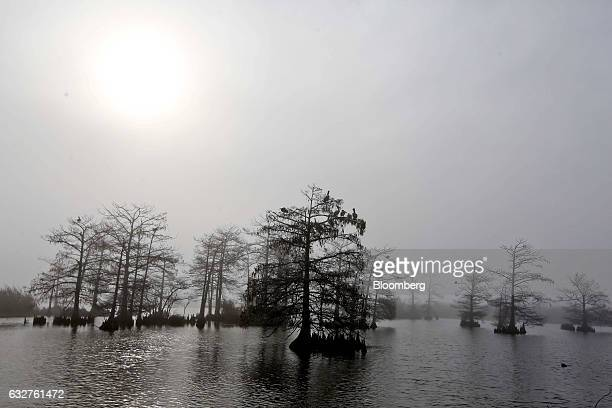 Trees stand inside a marsh in Venice Louisiana US on Thursday Jan19 2017 The state's 7700mile shoreline is disappearing at the fastest rate in the...