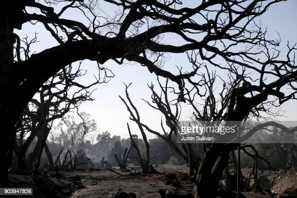Trees that were burned by a wildfire stand in an area that full of debris and mud following a mudslide on January 11 2018 in Montecito California 17...