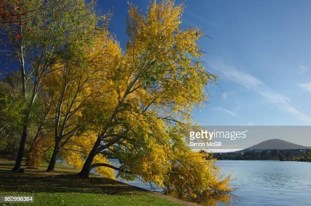 Trees turn yellow in Autumn on the edge of Lake Burley Griffin, Canberra, Australian Capital Territory, Australia