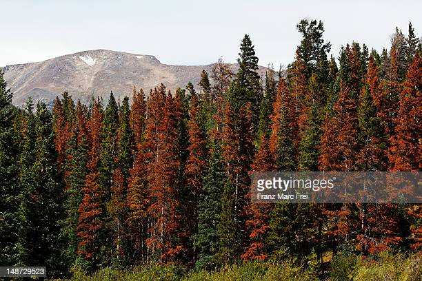 Trees which got damaged from bark beetles, Timber Creek, Rocky Mountain National Park.