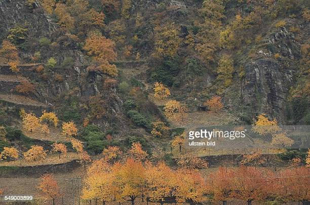 Trees with autumn leaves in the Rhine valley near St Goarshausen