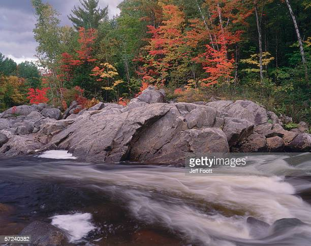 trees with autumn leaves stand near a river of rushing water. acer pensylvanicum and acer saccharum. swift river, new hampshire. - río swift fotografías e imágenes de stock