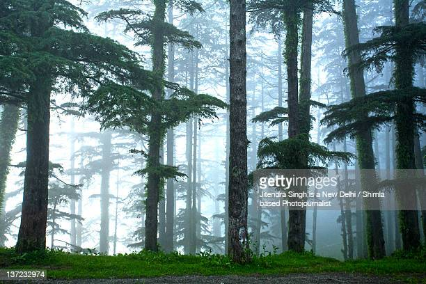 trees with fog - uttarakhand stock pictures, royalty-free photos & images