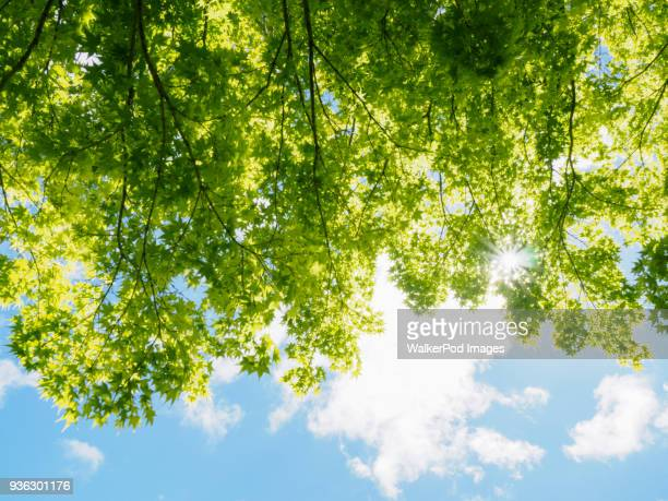 trees with green leaves in sunlight - treetop stock pictures, royalty-free photos & images