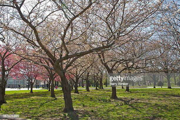 trees with pink and white buds atop green grass - flushing queens stock pictures, royalty-free photos & images