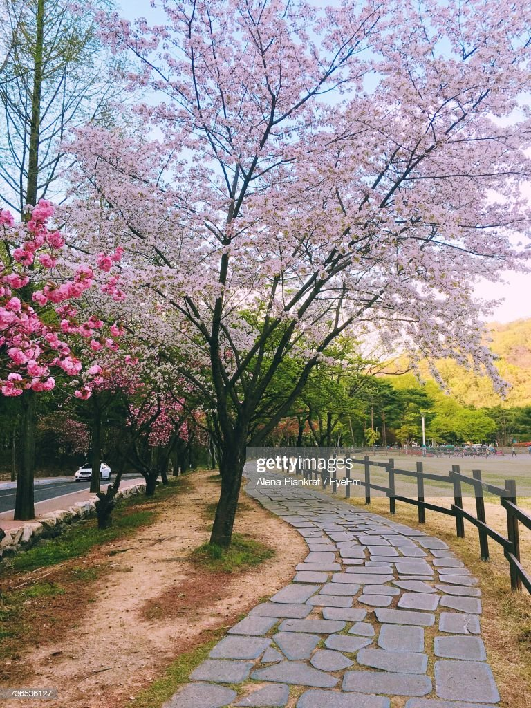 Trees With Pink Flowers On Footpath Stock Photo Getty Images