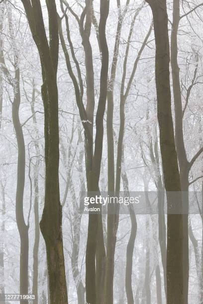 Trees with snow and frost. Near Wotton Under Edge. Gloucestershire. UK.