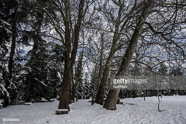 Trees with snow in L'Aquila, Italy, on January 19, 2017. A great deal of snow has fallen in the area, which was hit by four quakes on Wednesday. Four...