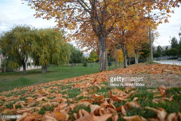 trees,leaves,fall,autumn - sivas stock pictures, royalty-free photos & images