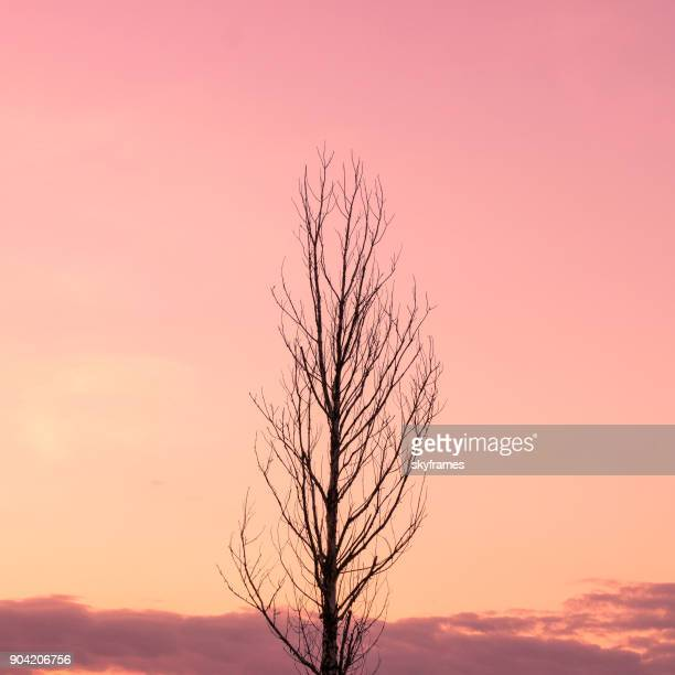 treetop against a pink sky - treetop stock photos and pictures