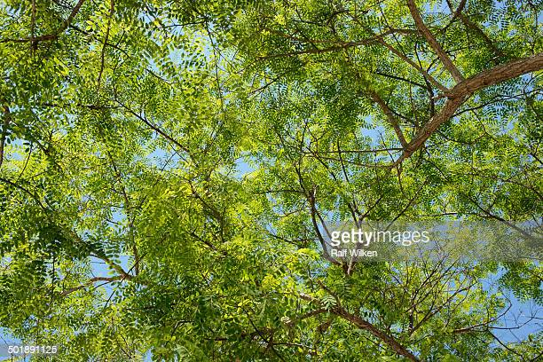 treetop, green leaves of a mimosa -mimosa sp.- - mimose foto e immagini stock