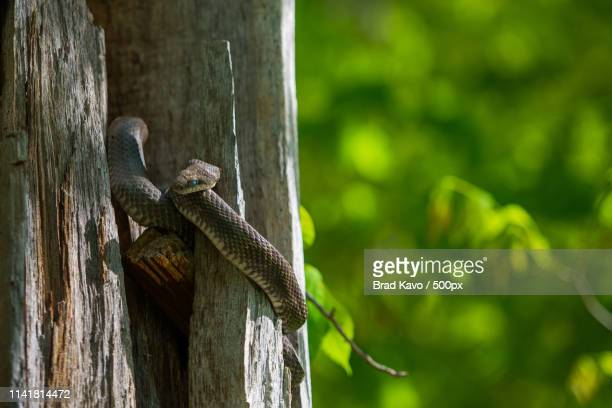 treetop sunbathing - black rat snake stock pictures, royalty-free photos & images