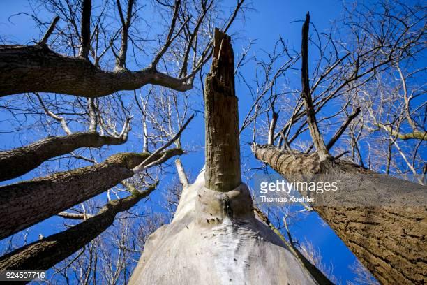 Treetops against a blue sky in winter at Glowe on the island of Ruegen on February 05 2018 in Glowe Germany