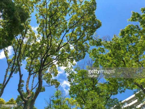 treetops against blue sky with white clouds - elm tree stock pictures, royalty-free photos & images