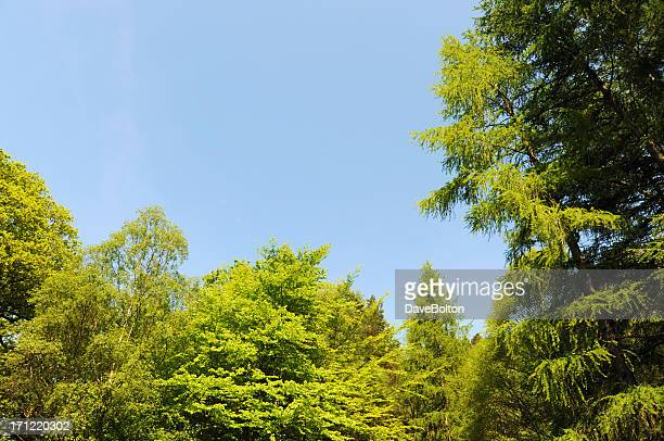 Treetops and Blue Sky