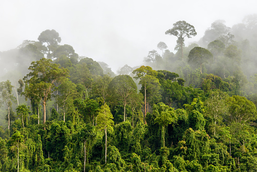 Treetops of Dense Tropical Rainforest With Morning Fog Located N 595321168