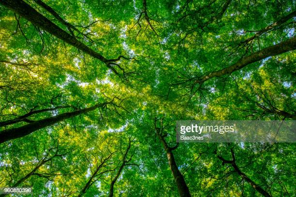 treetops seen from a low angle - beech tree stock pictures, royalty-free photos & images