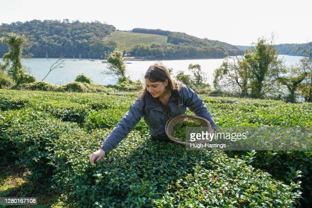 Tregothan Estate staff member Darcie Dawe oversees the first pluck of tea in October on the west banks of Tregothnan on October 14, 2020 at Truro,...