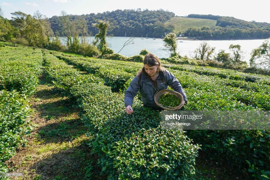 First October Harvest At Darjeeling-Style Tea Plantation In Cornwall : News Photo