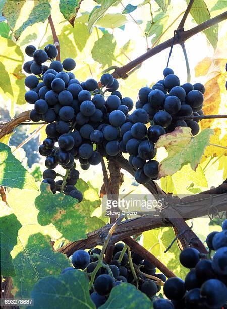 trellised red grapes on vine - twijg stockfoto's en -beelden