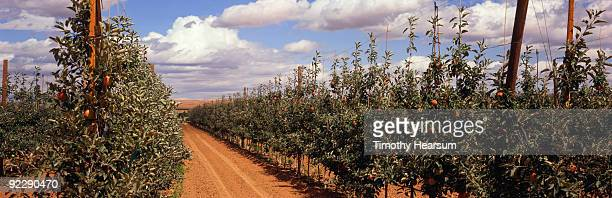 Trellised rows of Gala apple trees