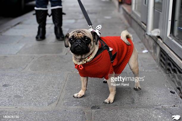 CONTENT] Trendy Parisian dog wearing a cute red top