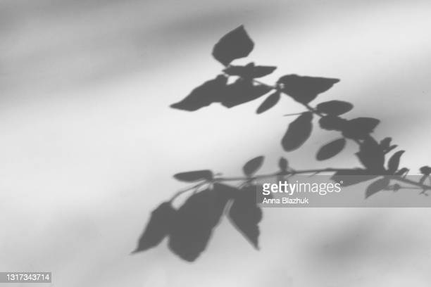 trendy photography effect of plant shadow, branch with leaves and flowers over white background for overlay - ombra foto e immagini stock