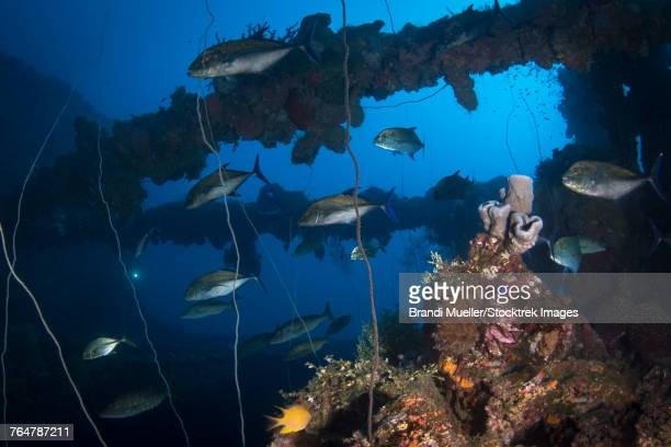 trevally on the seiko maru shipwreck, truk lagoon, micronesia. - lagon chuuk photos et images de collection